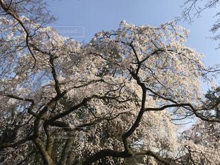 空,花,春,桜,木,屋外,晴れ,青空,花見,樹木,お花見,イベント,快晴,草木,さくら