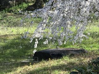 花,春,桜,木,屋外,白,花見,草,樹木,お花見,岩,新緑,イベント,木陰,石,草木,桜の花,さくら