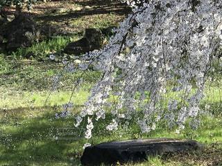 岩に枝垂れかかる桜の写真・画像素材[3044343]