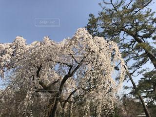 自然,空,花,春,桜,木,屋外,青空,花見,樹木,お花見,イベント,快晴,草木