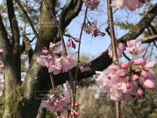 花,春,桜,木,屋外,ピンク,花見,樹木,お花見,イベント,草木,桜の花,ブロッサム