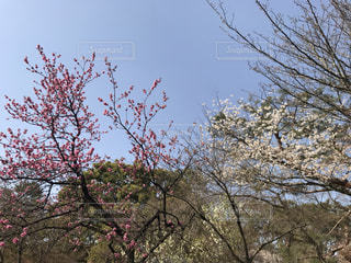 ピンクと白の桜の写真・画像素材[3044354]