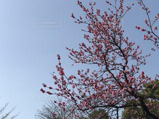 空,花,春,桜,木,屋外,ピンク,緑,晴れ,青空,花見,サクラ,樹木,お花見,イベント,快晴,桃色,草木,日中,さくら