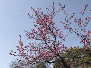 空,春,桜,木,屋外,緑,晴れ,青空,花見,樹木,お花見,新緑,イベント,快晴,草木