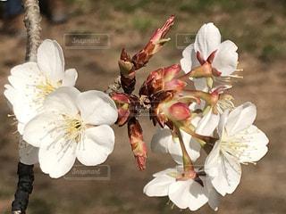 花,春,桜,木,白,花見,つぼみ,お花見,イベント,蕾,草木,ブルーム,ブロッサム