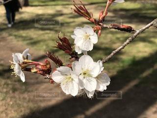 花,春,桜,木,屋外,白,枝,花見,つぼみ,お花見,イベント,地面,蕾,草木,花弁
