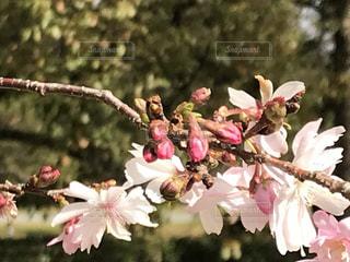 花,春,桜,木,白,枝,花見,樹木,つぼみ,お花見,新緑,イベント,蕾,草木,ブロッサム