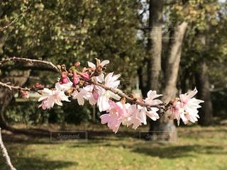 花,春,桜,木,ピンク,緑,林,花見,樹木,お花見,イベント,地面,ブロッサム