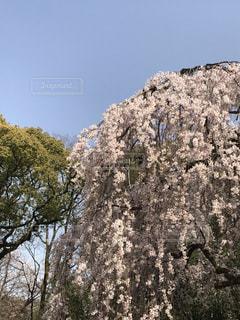 空,花,春,桜,木,ピンク,緑,青空,青,花見,お花見,イベント,快晴