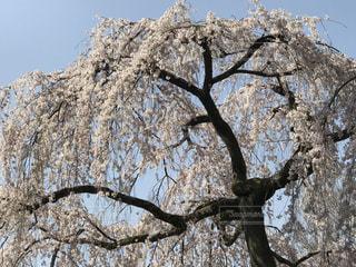 空,花,春,桜,木,屋外,花見,樹木,お花見,イベント,草木,桜の花,さくら