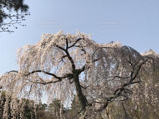 桜の木の写真・画像素材[3044357]