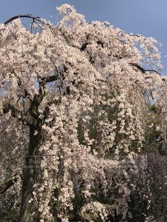 桜の木の写真・画像素材[3044361]