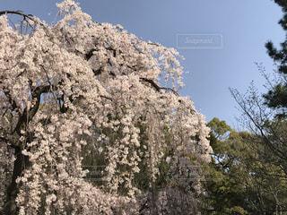 空,花,春,桜,木,屋外,ピンク,緑,晴れ,青空,青,花見,樹木,お花見,イベント,快晴,草木