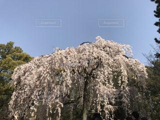 京都御苑の桜の写真・画像素材[3044358]