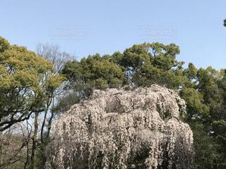 自然,風景,空,花,春,桜,木,屋外,ピンク,緑,晴れ,青空,青,花見,樹木,お花見,イベント,快晴,草木