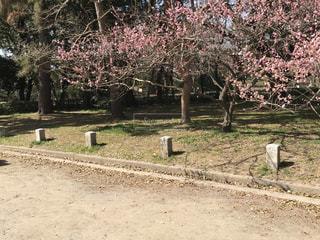 公園,花,春,桜,木,屋外,花見,樹木,お花見,道,イベント,草木,石柱,さくら