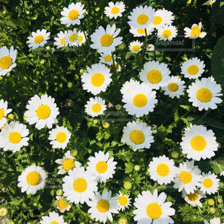 白と黄色の花で一杯の花瓶の写真・画像素材[1118502]