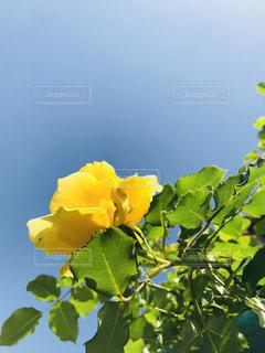緑の葉と黄色の花の写真・画像素材[1134227]