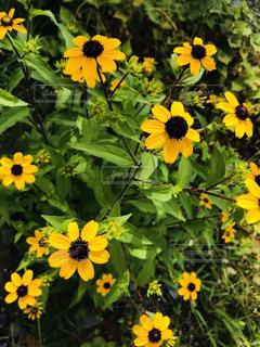 黄色の花の写真・画像素材[1383097]
