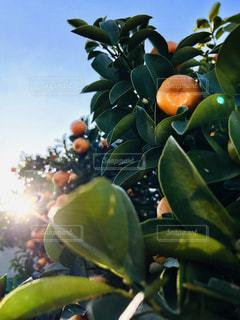 屋外,緑,フルーツ,キンカン,蜜柑,ミカン
