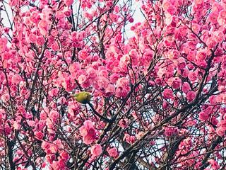 ピンクの花の木の写真・画像素材[1802373]