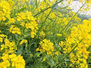 花,春,花束,黄色,菜の花,ミツバチ,草木,蜜蜂,フローラ