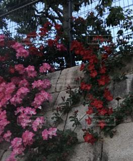 花,ピンク,赤,夕方,生垣