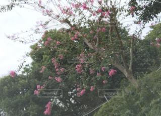 公園,花,屋外,緑,昼,ピンク色,草木,さるすべり