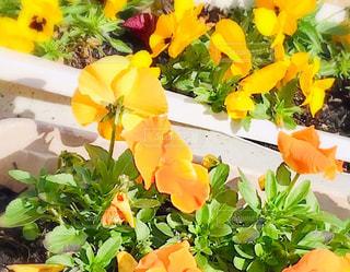 自然,花,屋外,植物,散歩,葉,鮮やか,オレンジ,土,イエロー,パンジー,色,近所,yellow