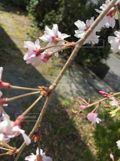 風景,花,春,桜,屋外,ピンク,太陽,光,樹木