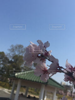 空,公園,花,春,桜,屋外,青,樹木