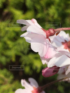 花,春,桜,屋外,ピンク,樹木