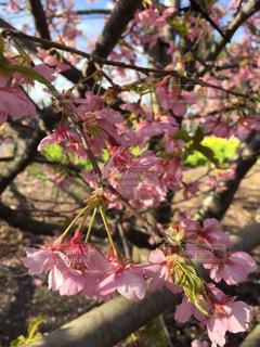 花,春,桜,屋外,ピンク,樹木,河津桜