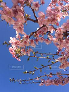 風景,空,公園,花,春,桜,屋外,ピンク,青,樹木
