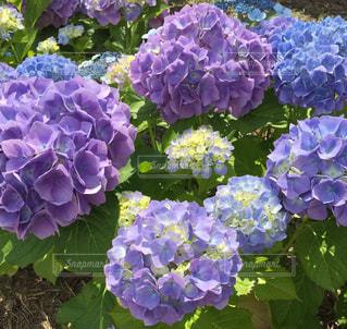 風景,屋外,緑,青,紫,紫陽花