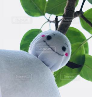 ゴムの木の写真・画像素材[1197553]