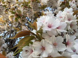 花,桜,屋外,カラフル,景色,日中,宮城県石巻市