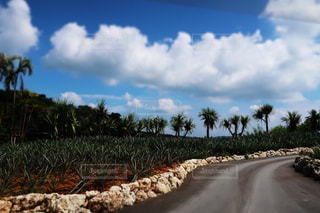 パイナップル畑の写真・画像素材[1096477]