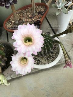 サボテンの花の写真・画像素材[1039967]