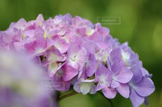自然,花,屋外,ピンク,葉,鮮やか,樹木,紫陽花,梅雨,草木