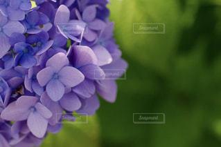 自然,公園,花,屋外,緑,紫,葉,鮮やか,樹木,紫陽花,グリーン,梅雨,草木