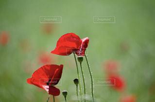 赤い花の写真・画像素材[1236037]