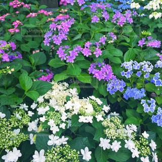 カラフル,紫陽花,梅雨