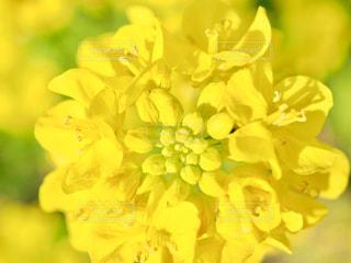 幸せの黄色い菜の花の写真・画像素材[1062768]