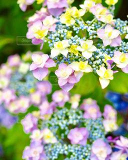 あじさいの花の写真・画像素材[1371804]