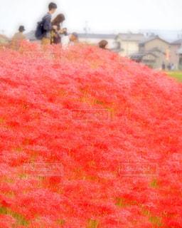一面の赤の写真・画像素材[1371819]