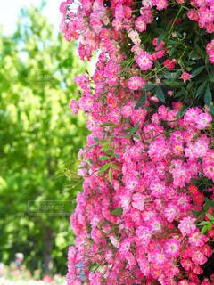 春を彩るの写真・画像素材[1371874]