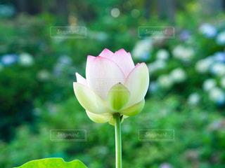 凛と咲くの写真・画像素材[1383063]