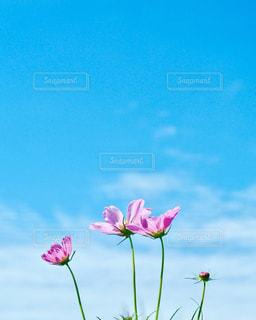 風景,空,花,秋,屋外,ピンク,植物,コスモス,晴れ,青空,青,秋晴れ,秋空