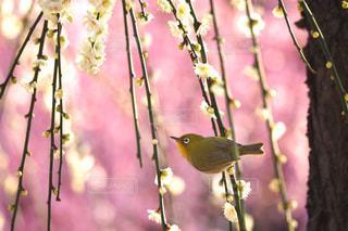 春を告げるの写真・画像素材[3059111]